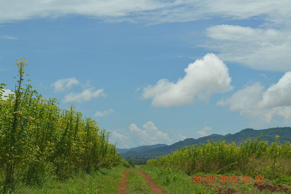 kenaf farms